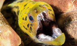 fimbriated moray eel