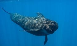 pilot whale