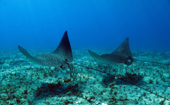 Picture of diving with rays at Bimini Sands Resort