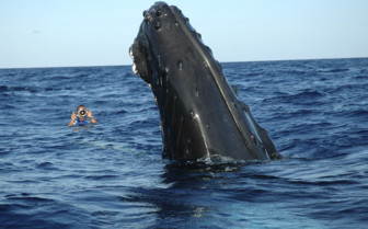 Picture of Snorkelling with whales off Turks and Caicos Aggressor II