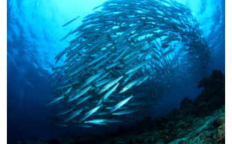Picture of a School of Barracuda Diving from Sipadan-Kapalai Dive Resort