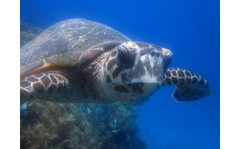 Picture of Diving with turtles at Moody's