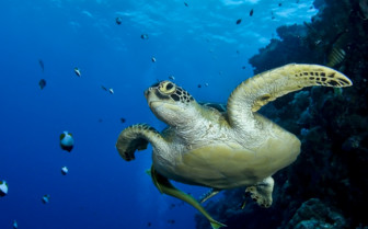 Picture of diving with turtles from the Palau Aggressor II