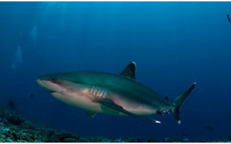 Picture of Whitetip Shark in Tikehau