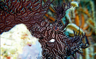 Picture of a scorpion fish in Tufi