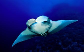 Picture of Manta Ray Red Sea Aggressor