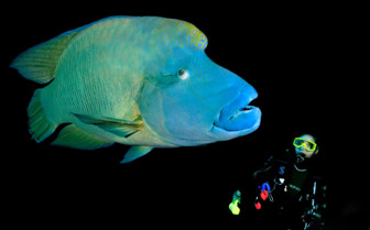 Picture of Napoleon Wrasse Red Sea Aggressor