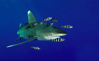 Picture of Shark Red Sea Aggressor
