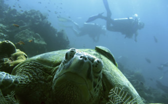Turtle underwater in Borneo