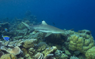 Picture of a blacktip reef shark at Angsana Ihuru