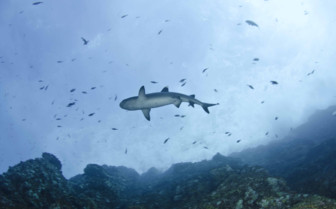 Shark swimming by Socorro Island