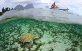 Marine life turtle in Pacific Ocean surrounding Lord Howe Island