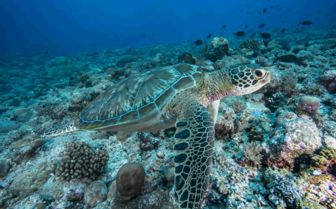 Close up green sea turtle