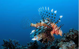 Scorpionfish underwater