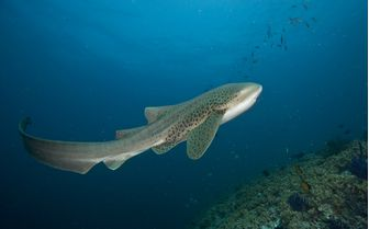 Whale Shark, Musandam