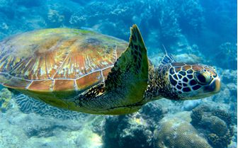 Sea Turtle, Damaniyat Islands