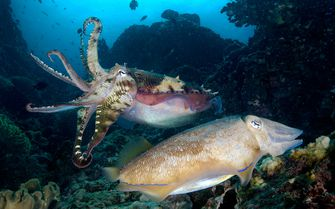 Cuttlefishes Underwater