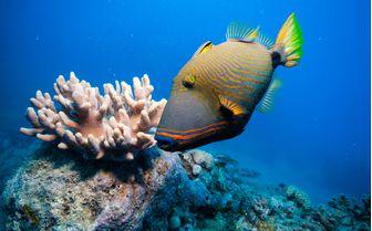 Triggerfish, Madagascar
