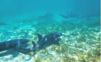 Coral sharks, Bahamas
