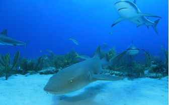 Nurse Shark Underwater
