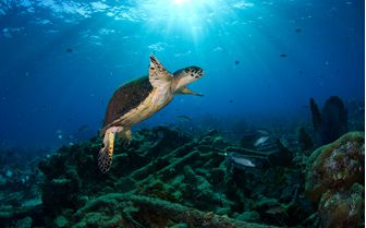 Sea Turtle Underwater, Bahamas