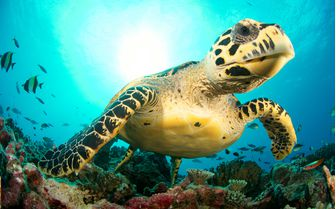 Sea Turtle, Cayman Islands