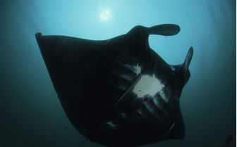 Darth Manta Ray Underwater