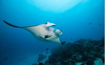 Reef Manta Ray Underwater