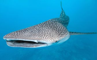 Picture of a Whale Shark at Turtle Inn