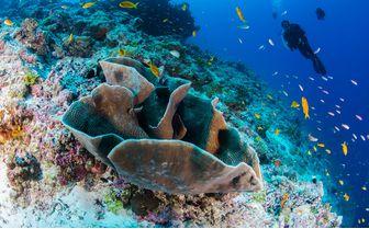 Alphonse_diver_coral
