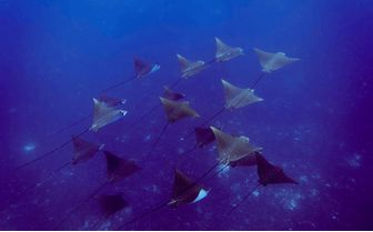 Alphonse_eagle_rays-swimming