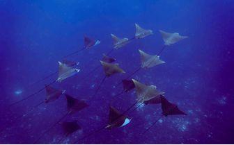 Alphonse_eagle_rays-swimming