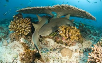 Nurse sharks hiding under the coral reef in Grenada