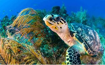 Sea turtle above the coral reef
