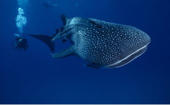 whale_shark_with_diver