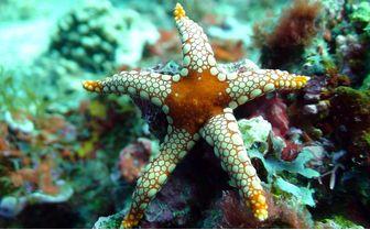 manta_starfish
