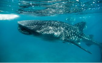 Whale Shark Feeding, Bohol, Philippines