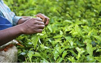 Tea Leaves, India