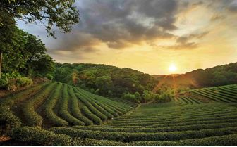 Tea Plantations, Eastern India