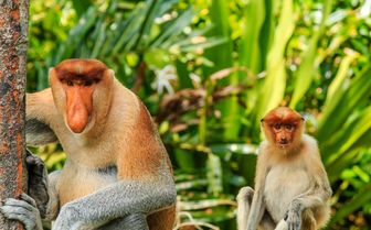 Proboscis Monkeys, Borneo, Malaysia