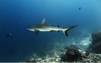 Grey Reef Shark, Malaysia