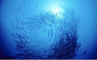 Swirl of Barracuda, Australia
