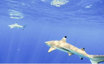 Black Tip Reef Shark, Tahiti