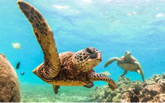 Hawaiian Green Sea Turtle, USA