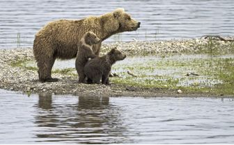 Bear with Cubs, USA