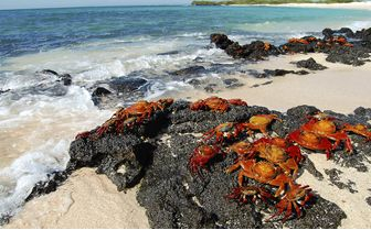 Crabs on beach, Galapagos
