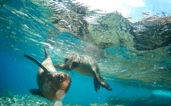 Seals Swimming, Galapagos