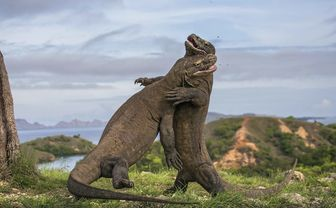 Komodo Dragons Fighting, Indonesia