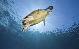 Hawksbill Turtle Swimming