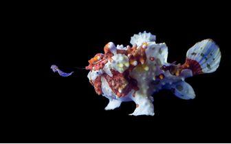 Frogfish, Philippines